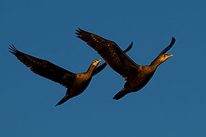 Cormorants in flight at Riparian Preserve