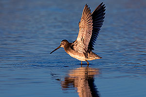 Long-billed Dowitcher in flight at Riparian Preserve