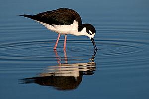 Black Necked Stilt [female] at Riparian Preserve