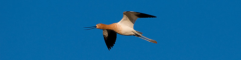American Avocet [breeding plumage] at Riparian Preserve