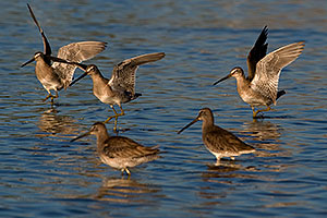 Long-billed Dowitchers at Riparian Preserve