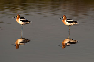 American Avocets [female on left] at Riparian Preserve