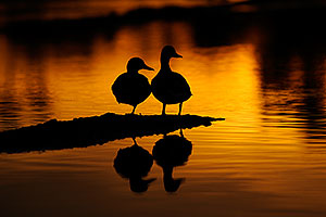Mallards at sunset at Riparian Preserve