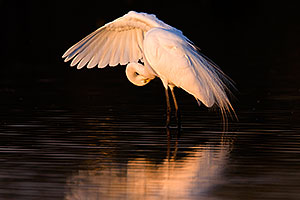 Great Egret at sunset at Riparian Preserve