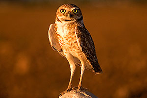Burrowing Owl in Queen Creek