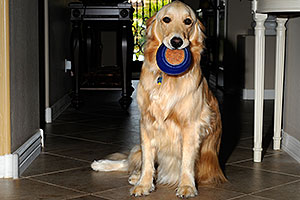 Izzy (Golden Retriever) with a toy - 2 years old
