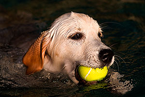 Bella (English Golden Retriever) swimming with ball