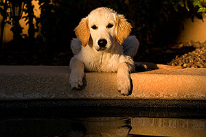 Bella (English Golden Retriever) by the pool