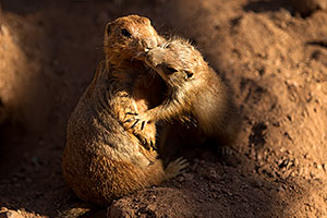 Affectionate Prairie Dogs at the Phoenix Zoo
