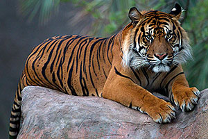 Jai, Sumatran Tiger (6 years old in 2010) at the Phoenix Zoo