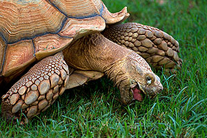 Sulcata Tortoise (reaching weights of 70-230lb) at the Phoenix Zoo