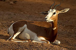Mhorr Gazelle at the Phoenix Zoo