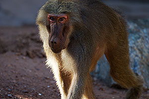 Baboon at the Phoenix Zoo