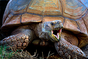 Sulcata Tortoise opening mouth at the Phoenix Zoo