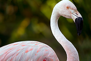 Pink Flamingo at the Phoenix Zoo