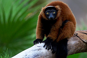 Red ruffed Lemur at the Phoenix Zoo