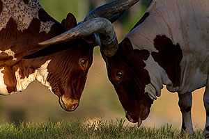 Watusi Cattle at the Phoenix Zoo