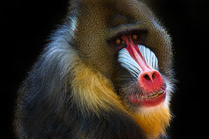 Mandrill at the Phoenix Zoo