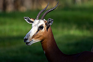 Mhorr`s Gazelle at the Phoenix Zoo