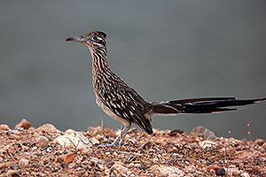 Roadrunner at Lake Havasu