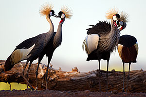 East African Crowned Cranes at the Phoenix Zoo