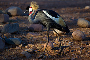 East African Crowned Crane at the Phoenix Zoo