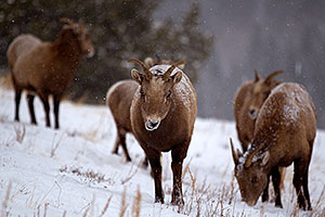 Bighorn Sheep by Ouray
