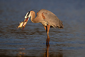Great Blue Heron with a fish at Riparian Preserve