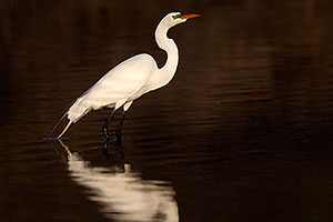 Bright green lores (markings) of a breeding Great Egret at Riparian Preserve