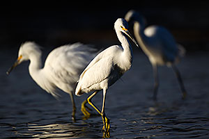Snowy Egrets at Riparian Preserve