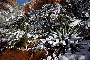 Morning snow on Agave in Sedona