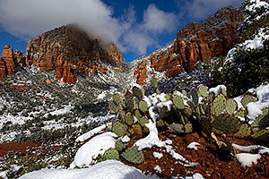 Morning snow on Prickly Pear Cactus in Sedona