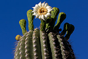 Blooming Saguaro in Superstitions