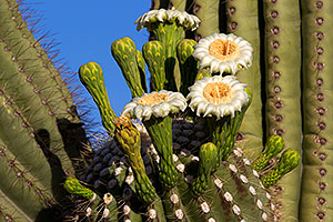 Saguaro flowers in Superstitions
