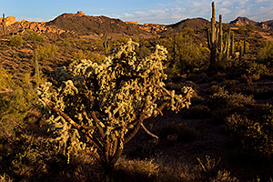 Tree Cholla cactus in Superstitions