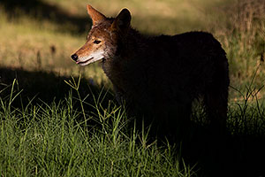 Coyote in Furnace Creek in Death Valley