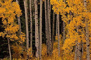 Yellow Aspen Fall Colors in Maroon Bells, Colorado