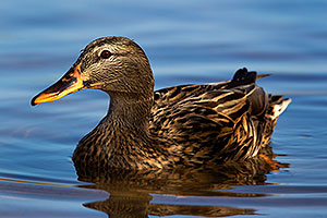 Female Mallard at Riparian Preserve
