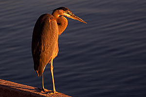 Great Blue Heron at Tempe Town Lake