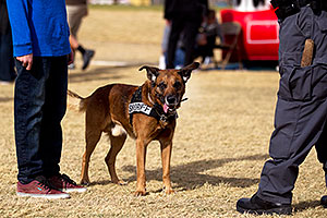 Raidin the Police Dog [Belgian Malinois] in Lake Havasu City, Arizona