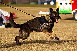 Thor the Police Dog [Dutch Shepherd] in Lake Havasu City, Arizona