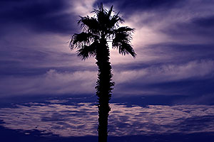 Palm Tree in Lake Havasu City, Arizona