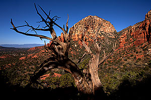 Tree in front of Thunder Mountain (Capital Butte) in Sedona