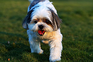 Barney (Shih Tzu) in Fountain Hills