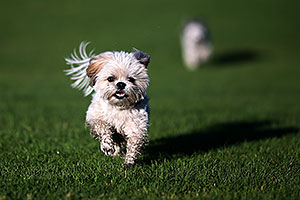 Barney and Bentley (Shih Tzus) in Fountain Hills