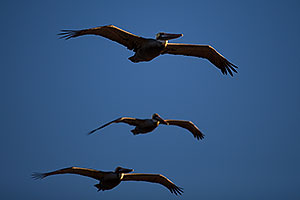 3 Pelicans by Carlsbad, California