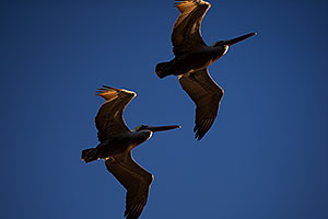 2 Pelicans by Carlsbad, California
