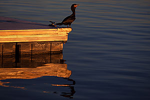 Cormorant at Tempe Town Lake