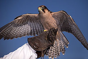 Lanner Falcon at Renaissance Festival 2013 in Apache Junction