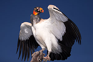 King Vulture at Renaissance Festival 2013 in Apache Junction